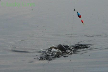 Hechte können am Ufer ordentlich Druck machen.