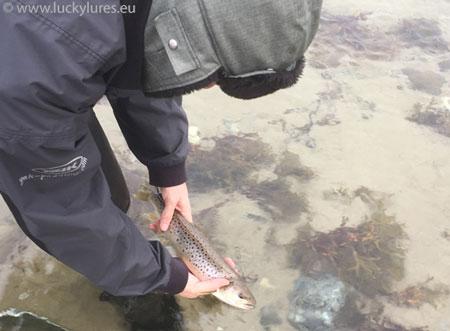 Catch & Release beim Angeln auf Meerforelle in Dänemark.