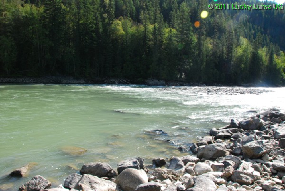 Bull Trout, North Thompson River. Hier lauern Bull Trouts auf Beute.